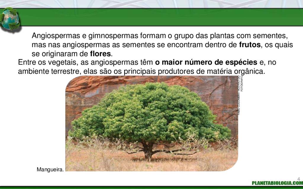 Angiospermas e gimnospermas formam o grupo das ...