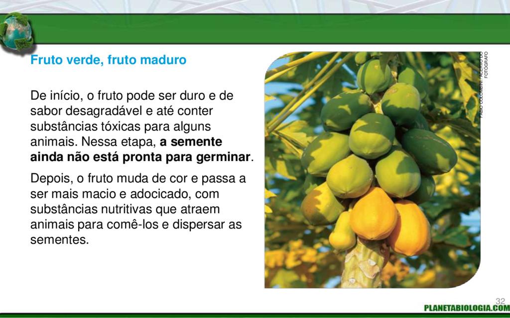 Fruto verde, fruto maduro Mamoeiro com mamões. ...