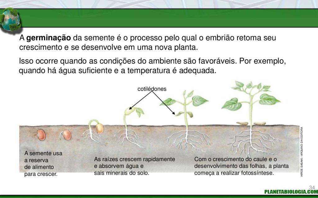 A germinação da semente é o processo pelo qual ...