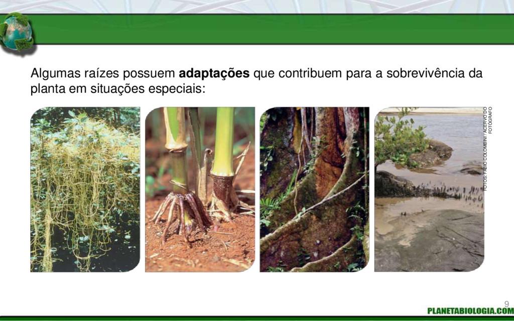 Algumas raízes possuem adaptações que contribue...