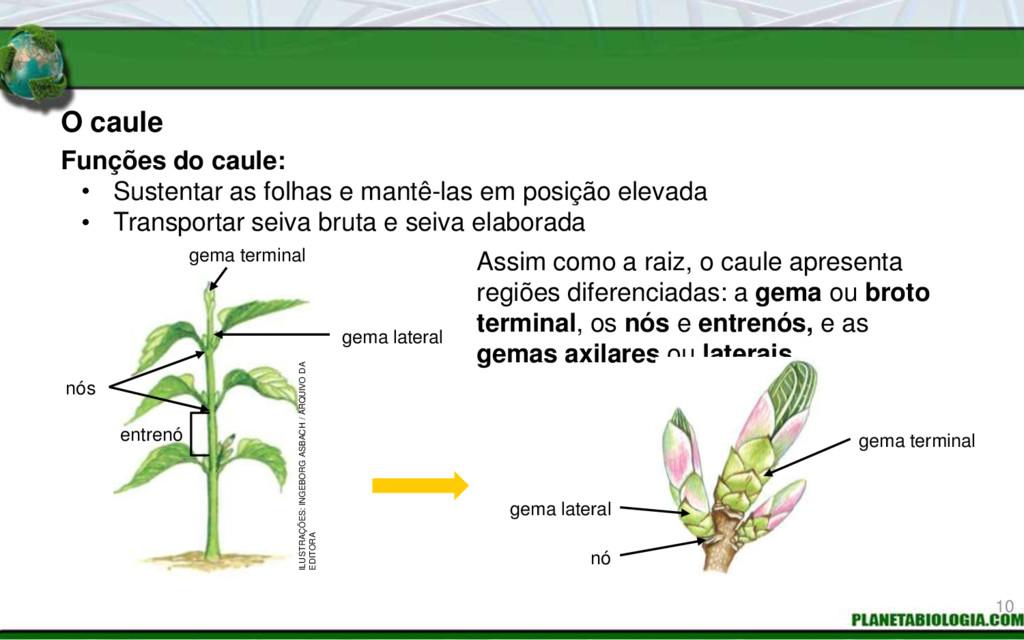 Funções do caule: Assim como a raiz, o caule ap...