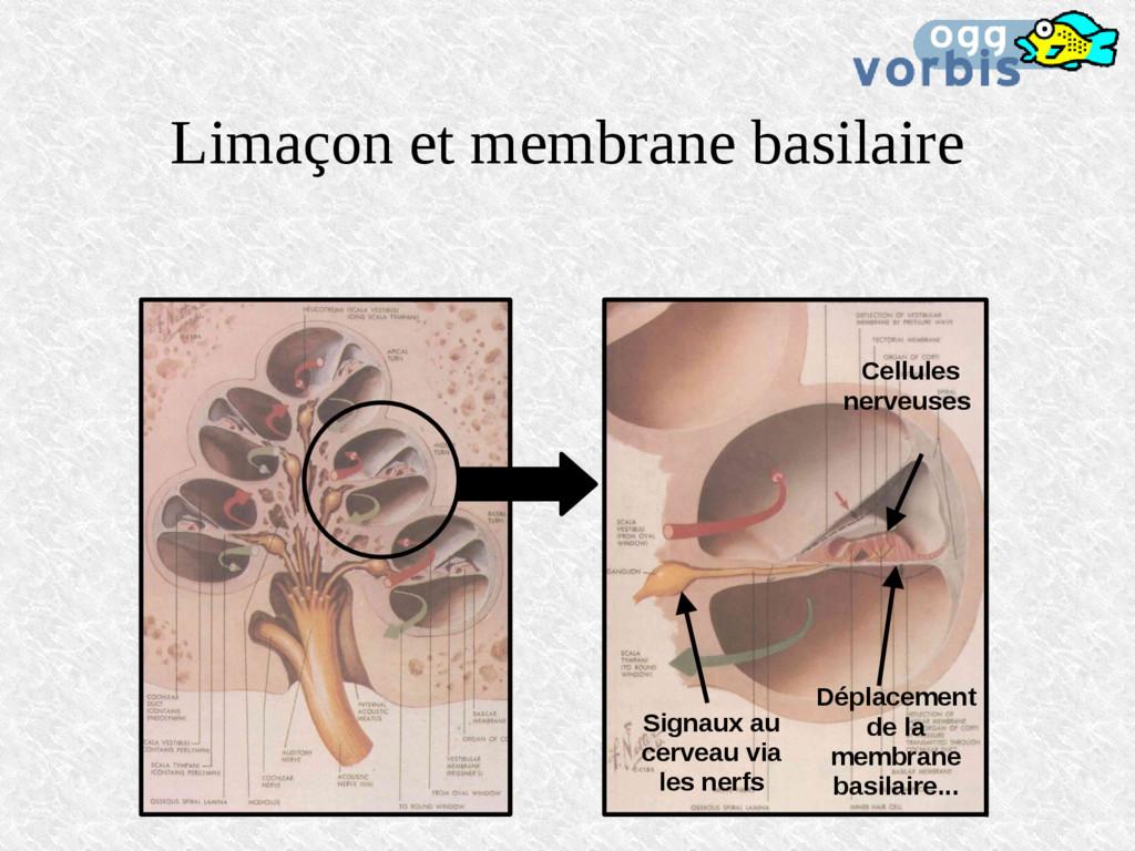 Limaçon et membrane basilaire Déplacement de la...