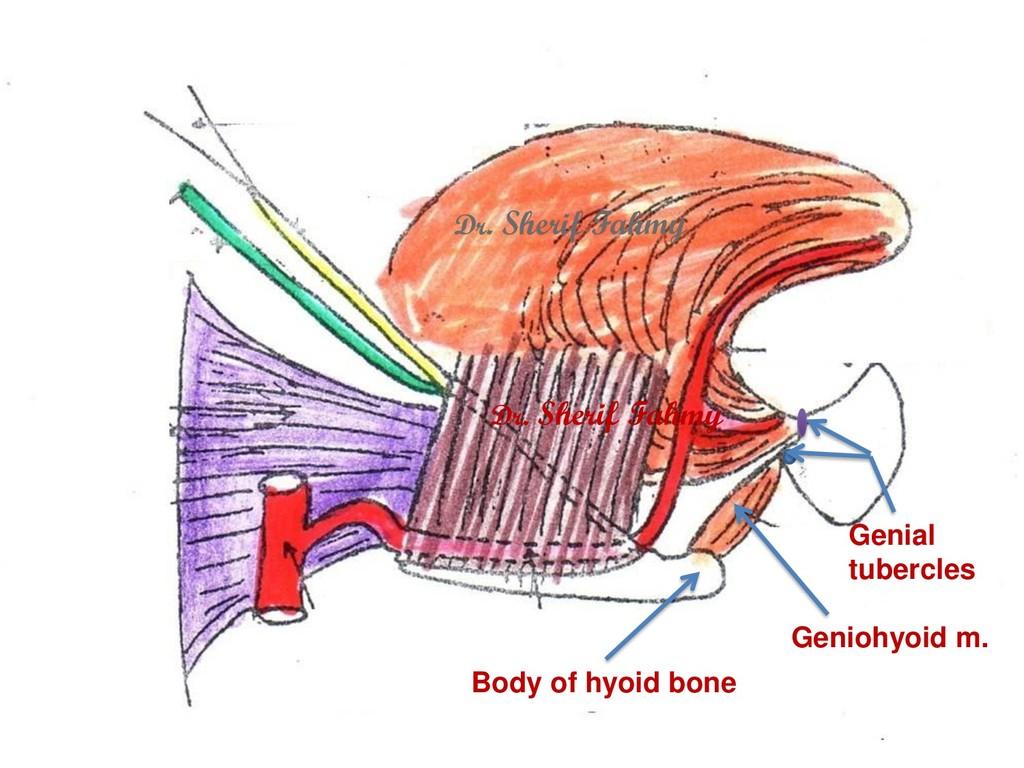 Geniohyoid m. Genial tubercles Body of hyoid bo...