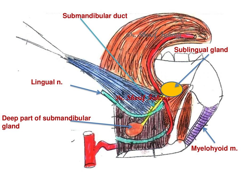 Myelohyoid m. Lingual n. Submandibular duct Dee...