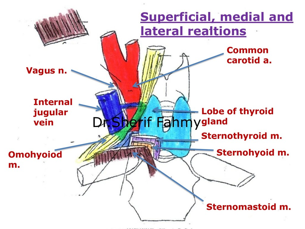 Lobe of thyroid gland Common carotid a. Interna...