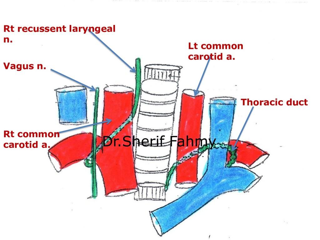Vagus n. Rt recussent laryngeal n. Rt common ca...