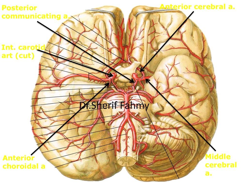 Anterior cerebral a. Middle cerebral a. Posteri...