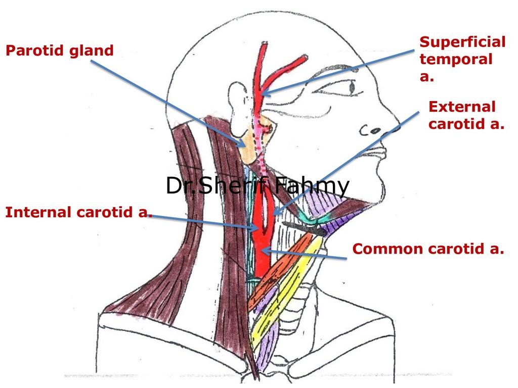 Common carotid a. External carotid a. Parotid g...