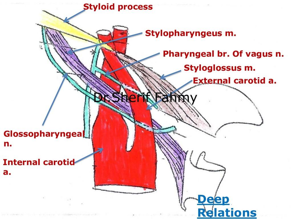 External carotid a. Internal carotid a. Stylogl...