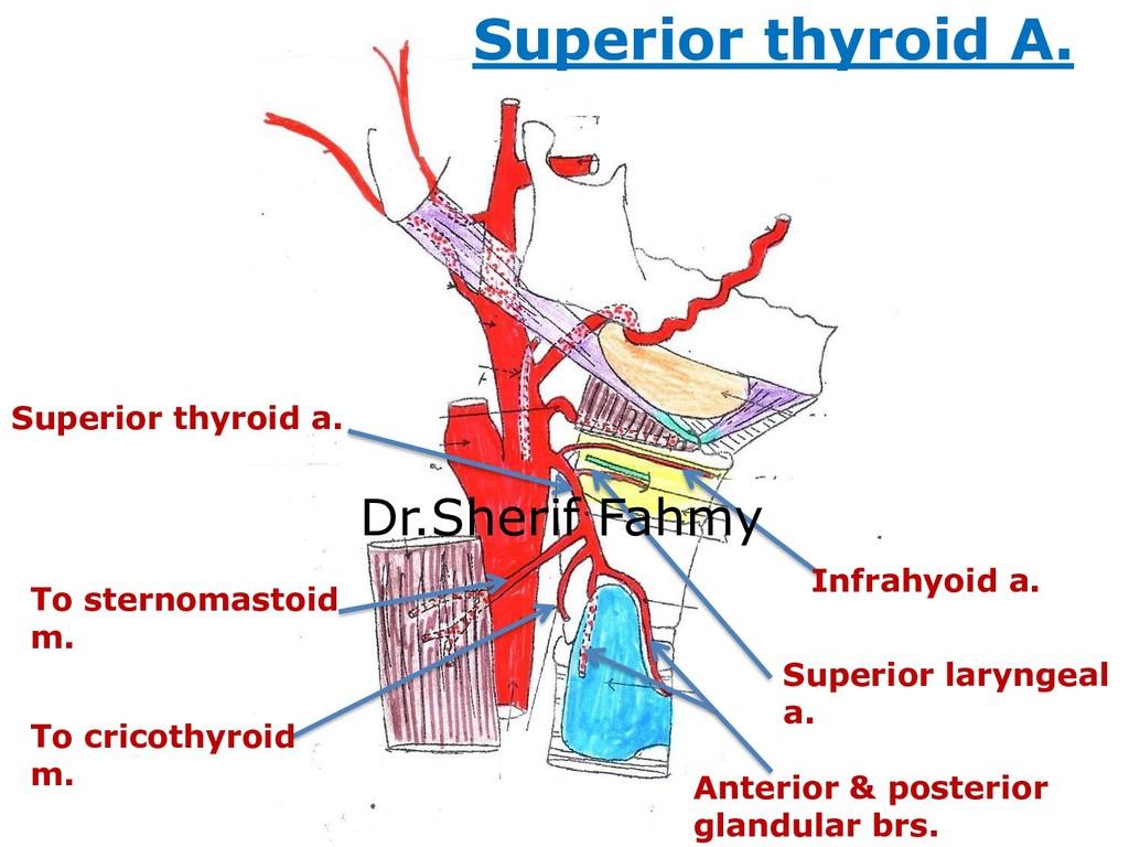 Superior thyroid a. Superior laryngeal a. Infra...