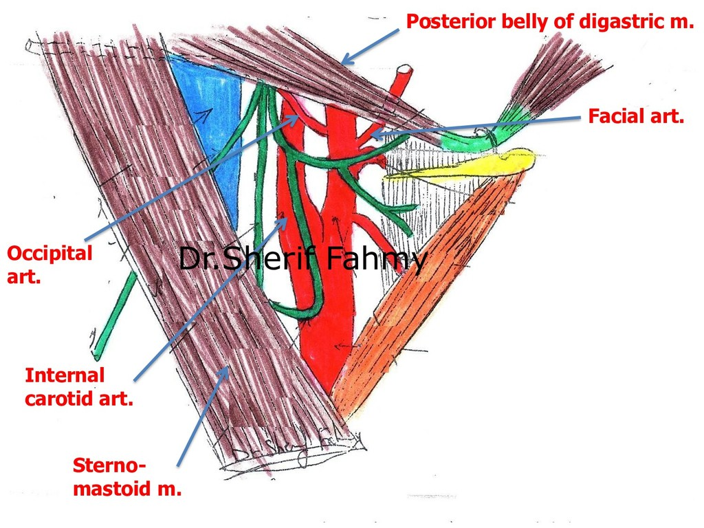 Posterior belly of digastric m. Sterno- mastoid...