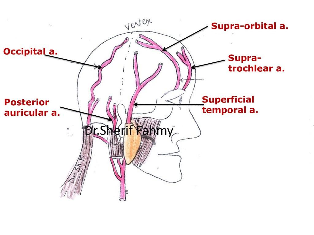 Supra- trochlear a. Supra-orbital a. Superficia...