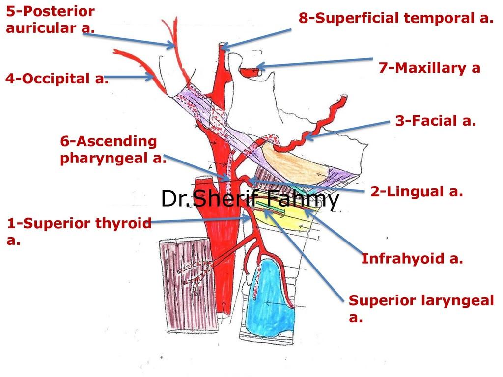 1-Superior thyroid a. Superior laryngeal a. Inf...