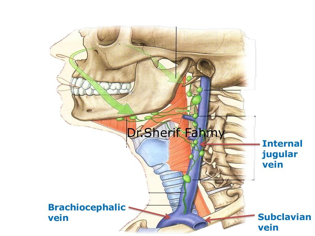 Internal jugular vein Subclavian vein Brachioce...