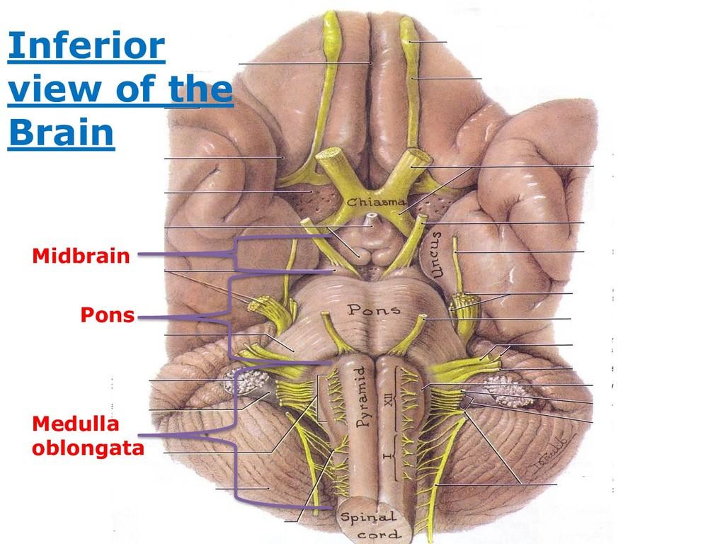 Medulla oblongata Pons Midbrain Inferior view o...