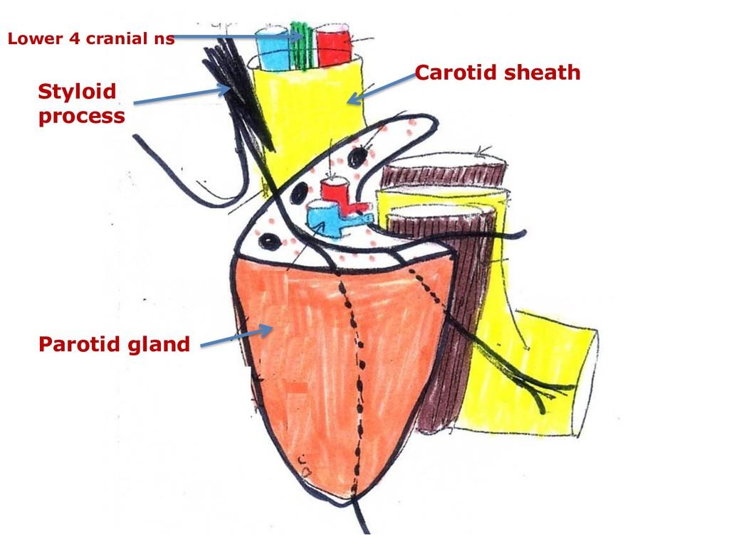 Parotid gland Carotid sheath Lower 4 cranial ns...
