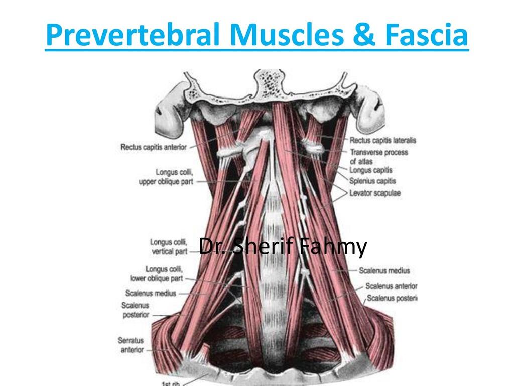 Prevertebral Muscles & Fascia Dr. Sherif Fahmy