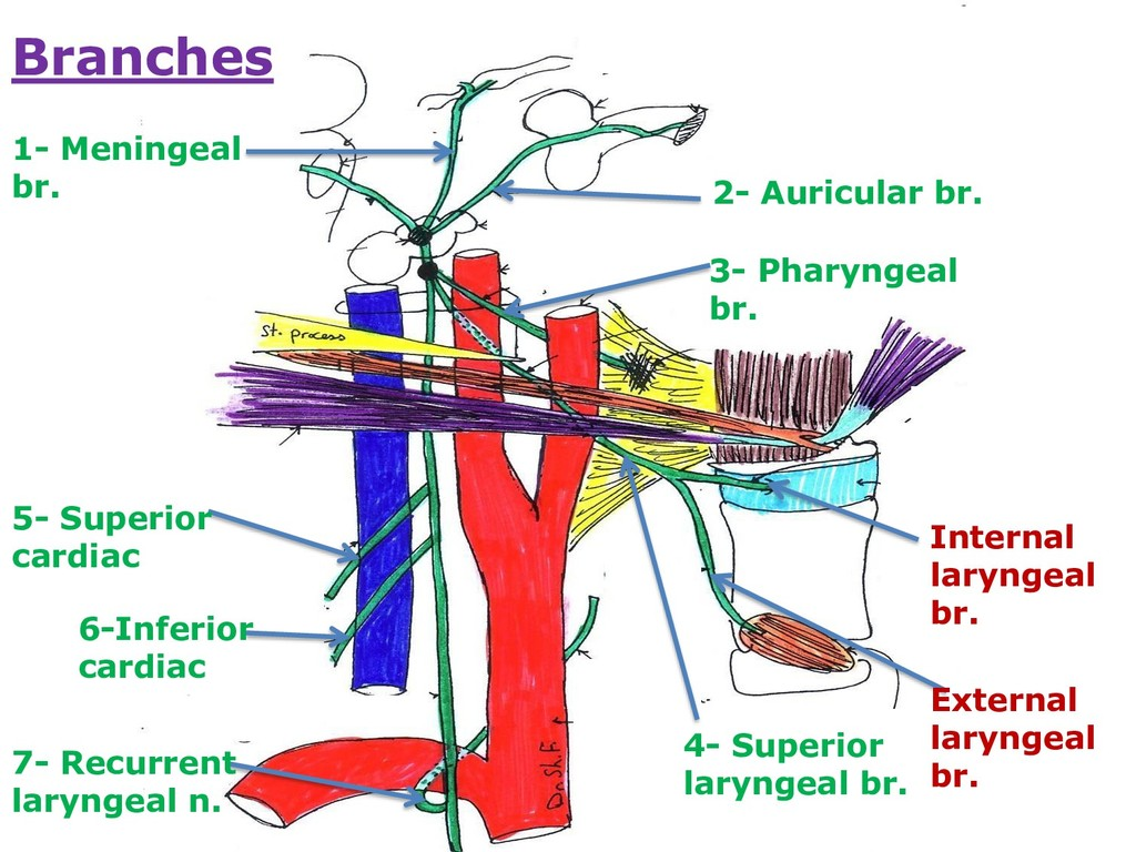 Branches 1- Meningeal br. 2- Auricular br. 3- P...