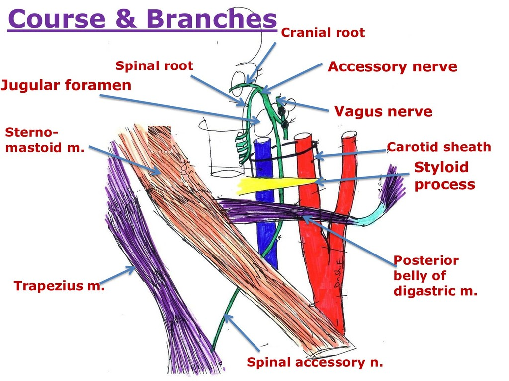Cranial root Spinal root Vagus nerve Accessory ...