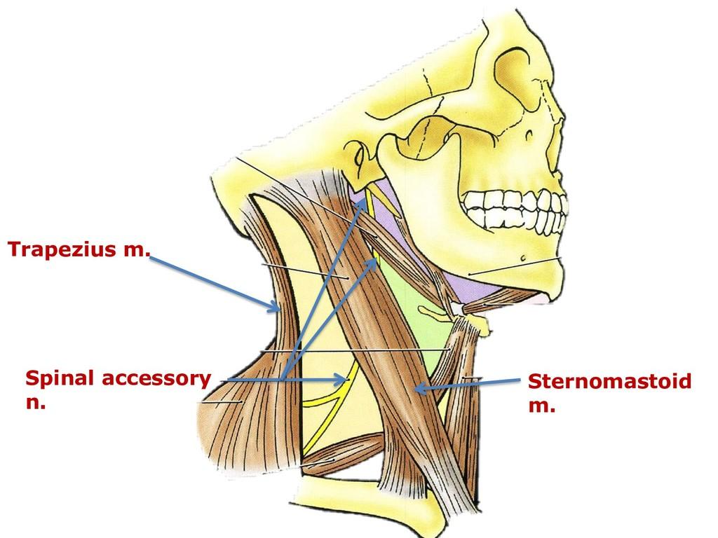 Spinal accessory n. Sternomastoid m. Trapezius ...
