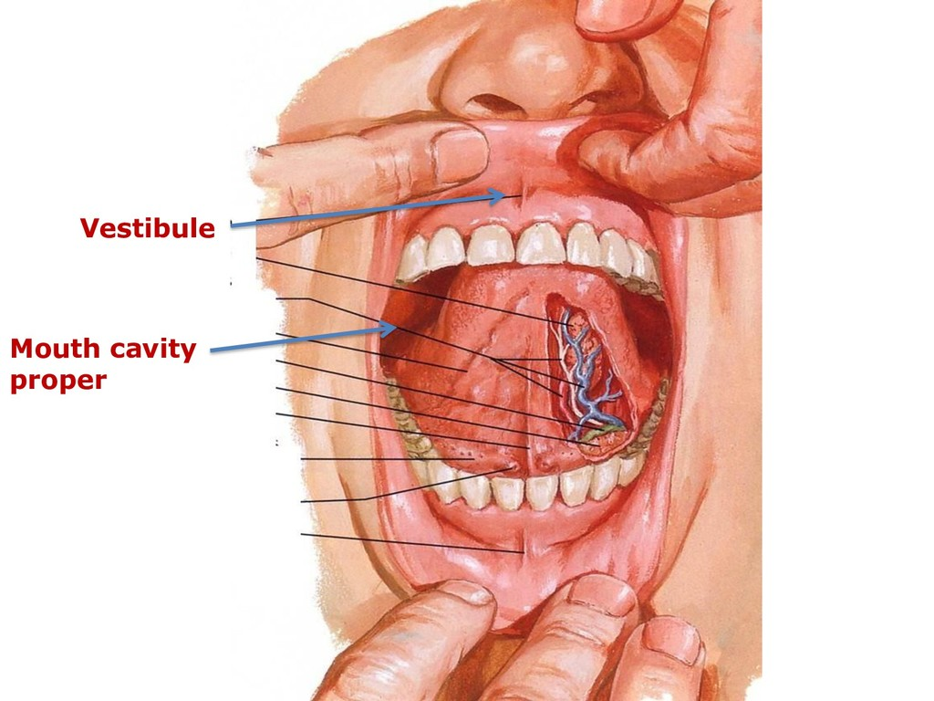 Vestibule Mouth cavity proper