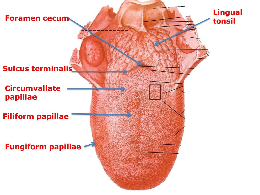 Sulcus terminalis Foramen cecum Lingual tonsil ...
