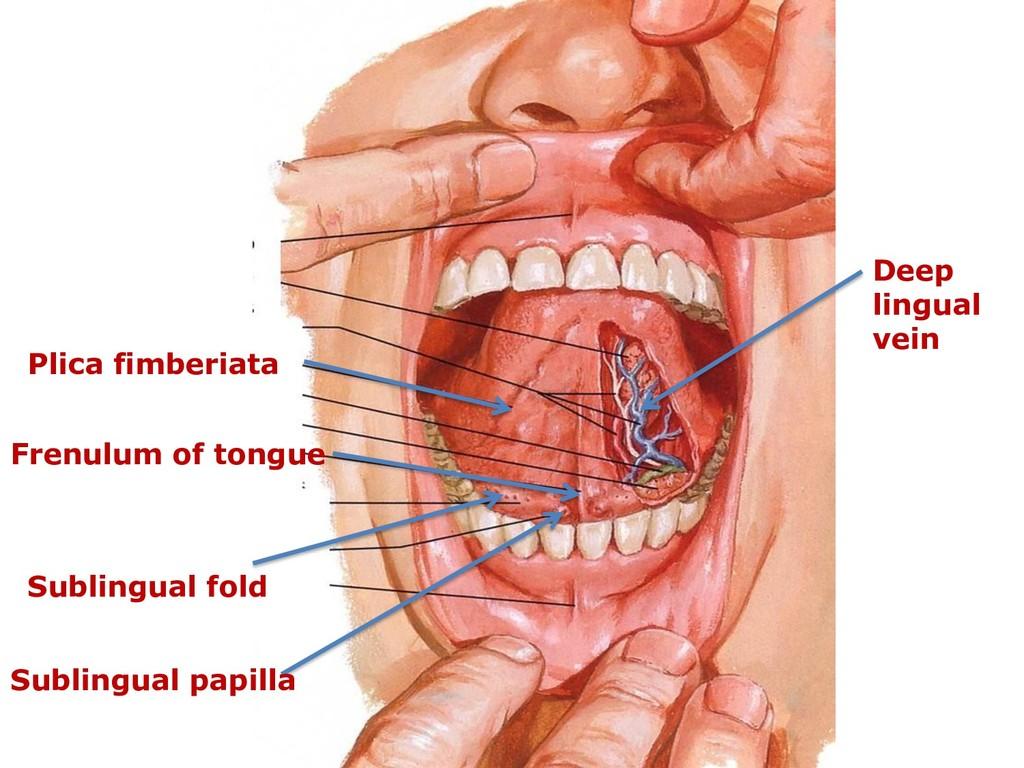 Frenulum of tongue Deep lingual vein Plica fimb...