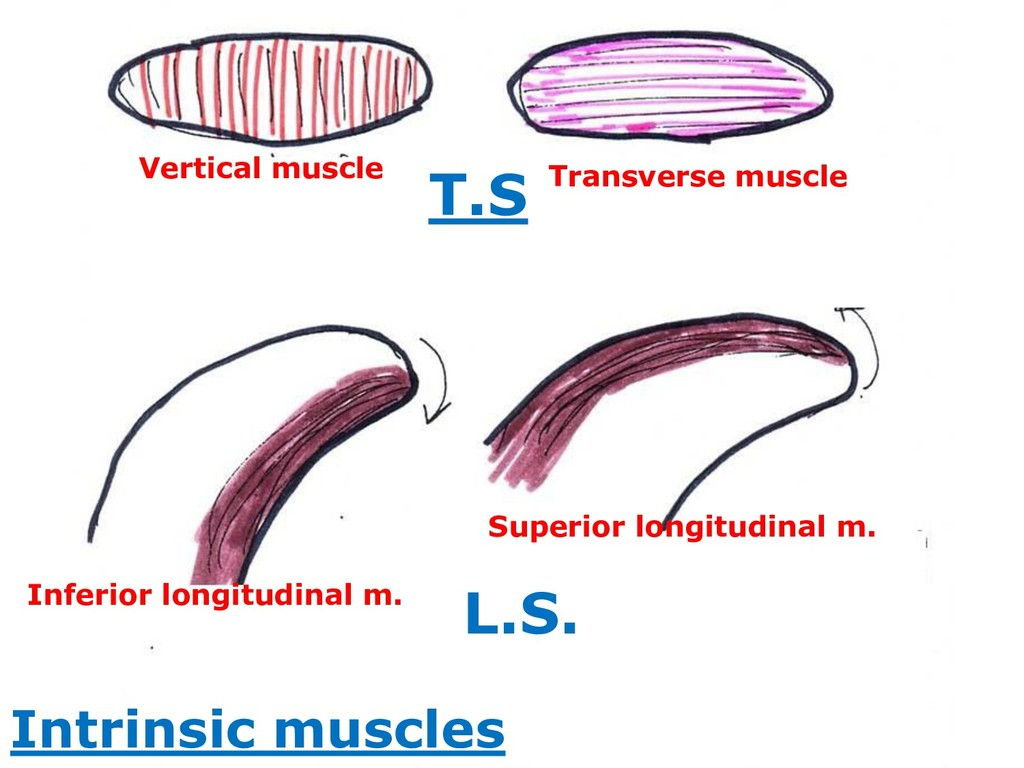 Vertical muscle Transverse muscle Superior long...