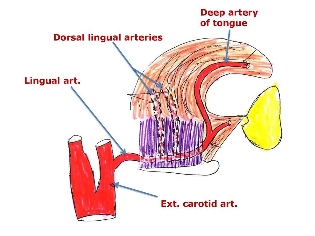 Ext. carotid art. Lingual art. Dorsal lingual a...