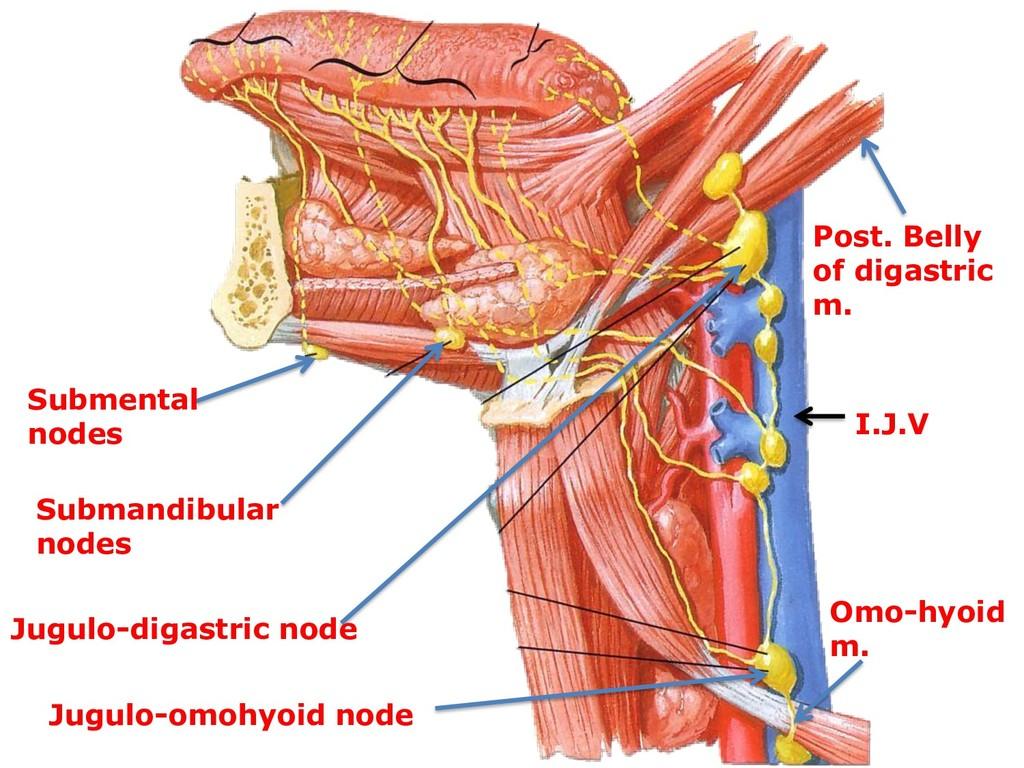 Submental nodes Submandibular nodes Jugulo-diga...