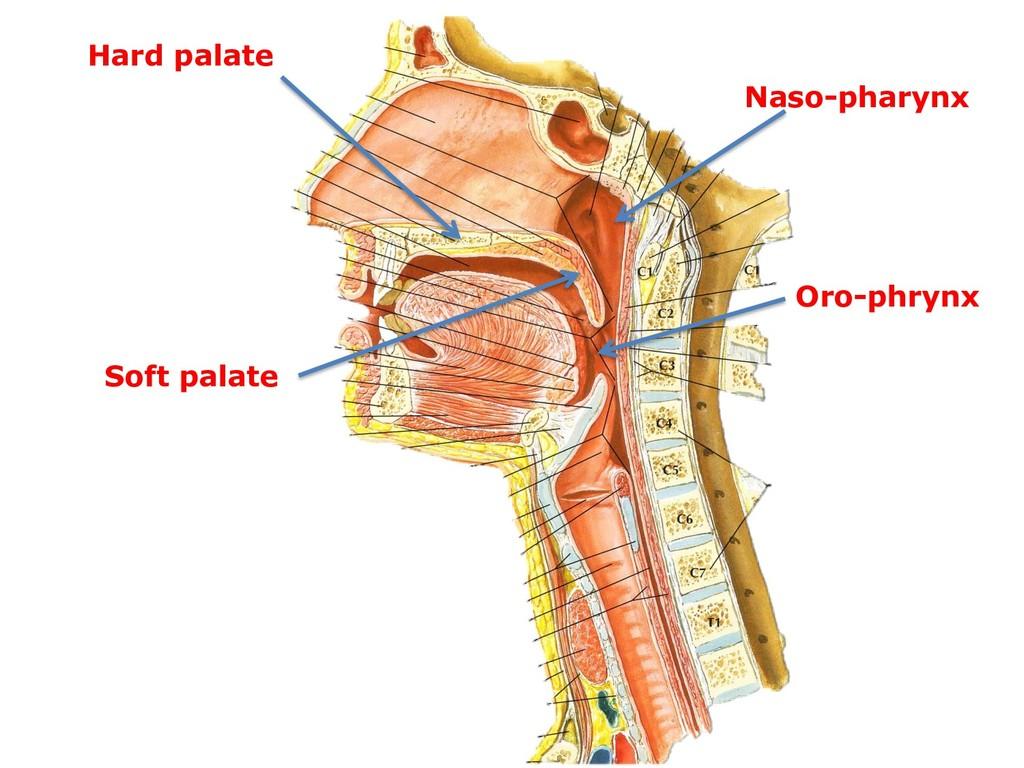 Hard palate Soft palate Naso-pharynx Oro-phrynx