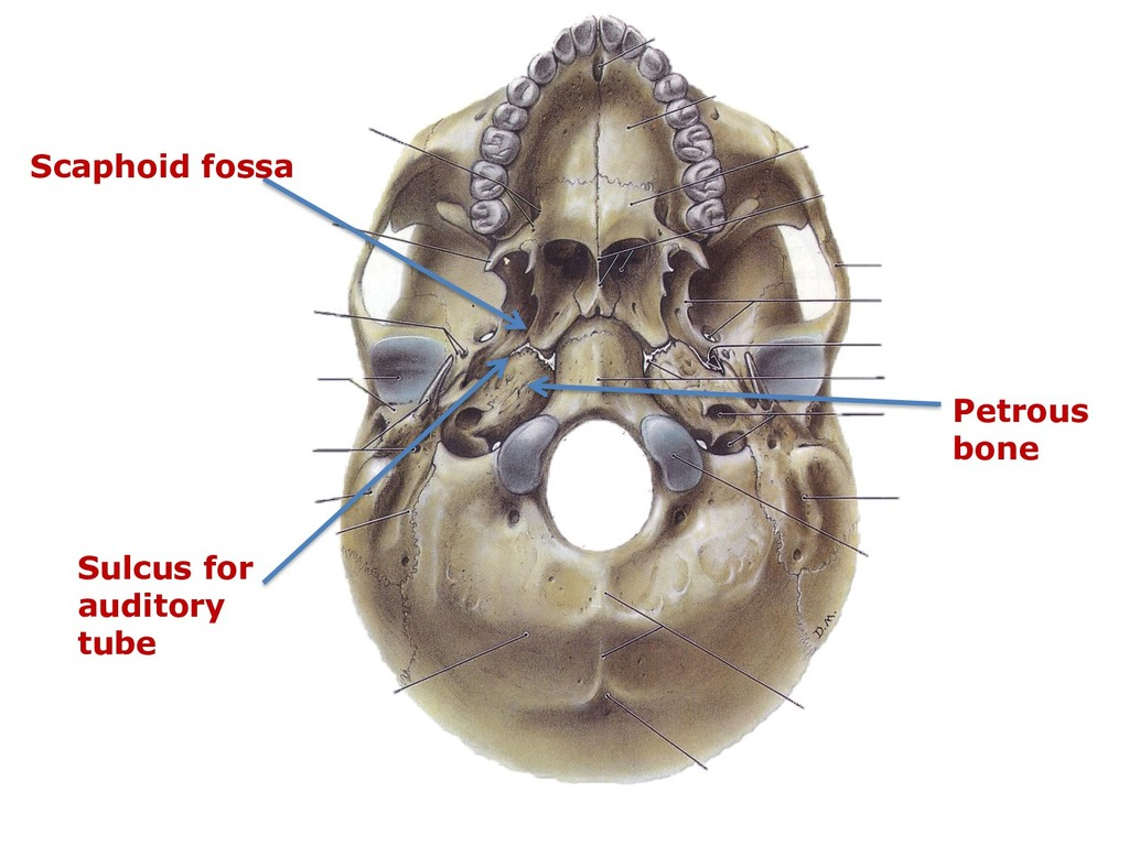 Sulcus for auditory tube Scaphoid fossa Petrous...