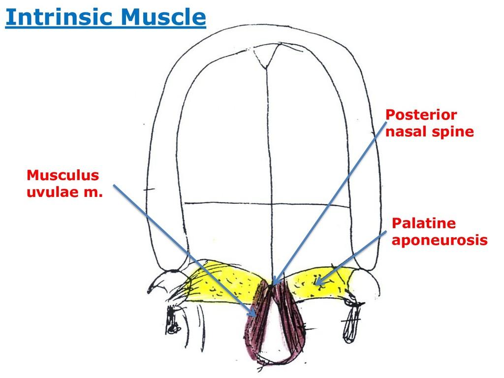 Palatine aponeurosis Posterior nasal spine Musc...
