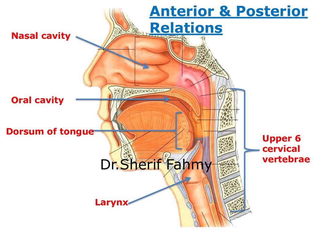 Larynx Nasal cavity Oral cavity Dorsum of tongu...