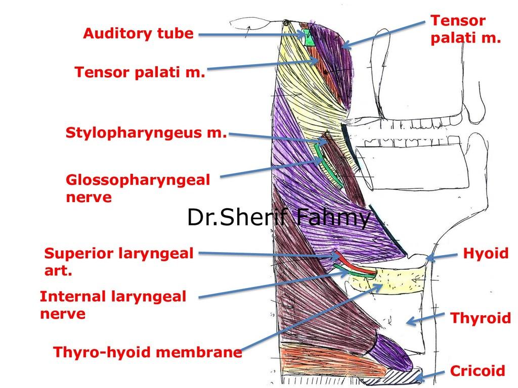 Cricoid Thyroid Hyoid Tensor palati m. Auditory...