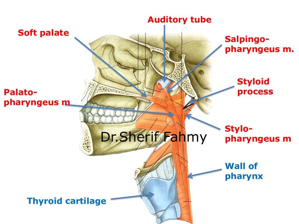 Auditory tube Salpingo- pharyngeus m. Soft pala...