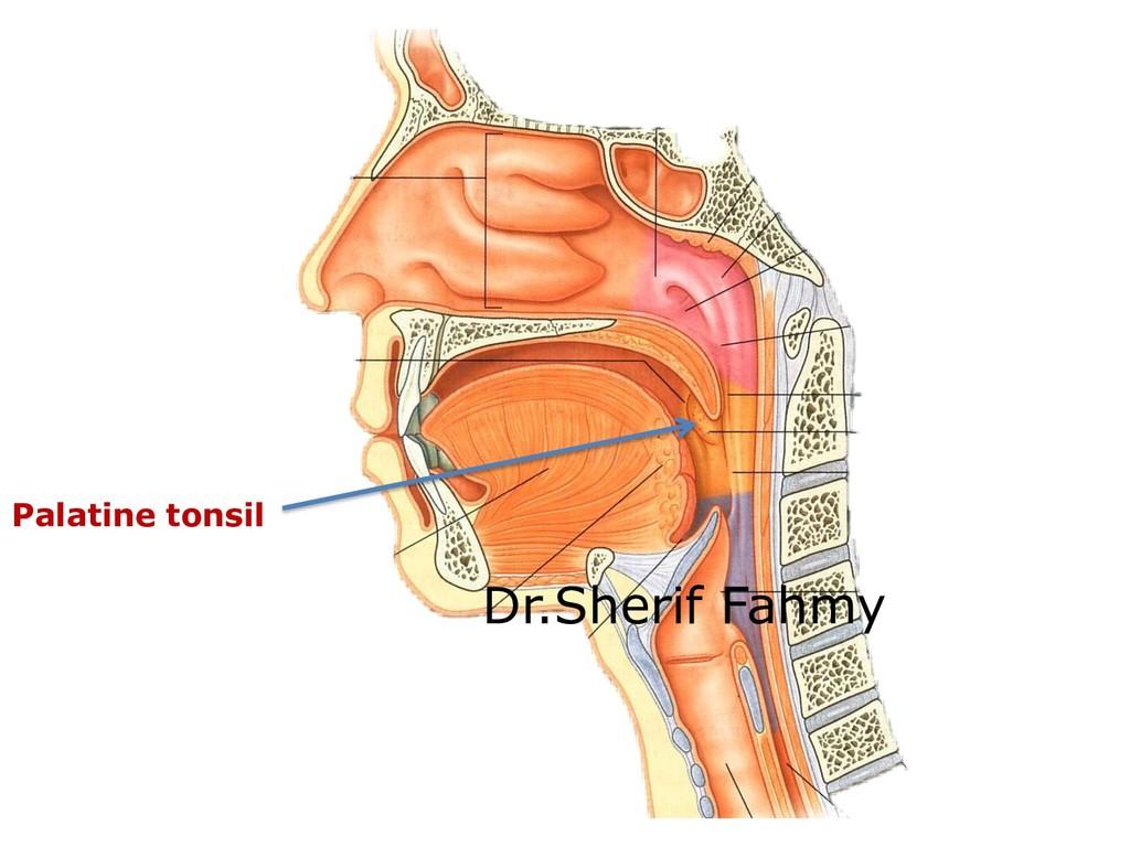 Palatine tonsil Dr.Sherif Fahmy