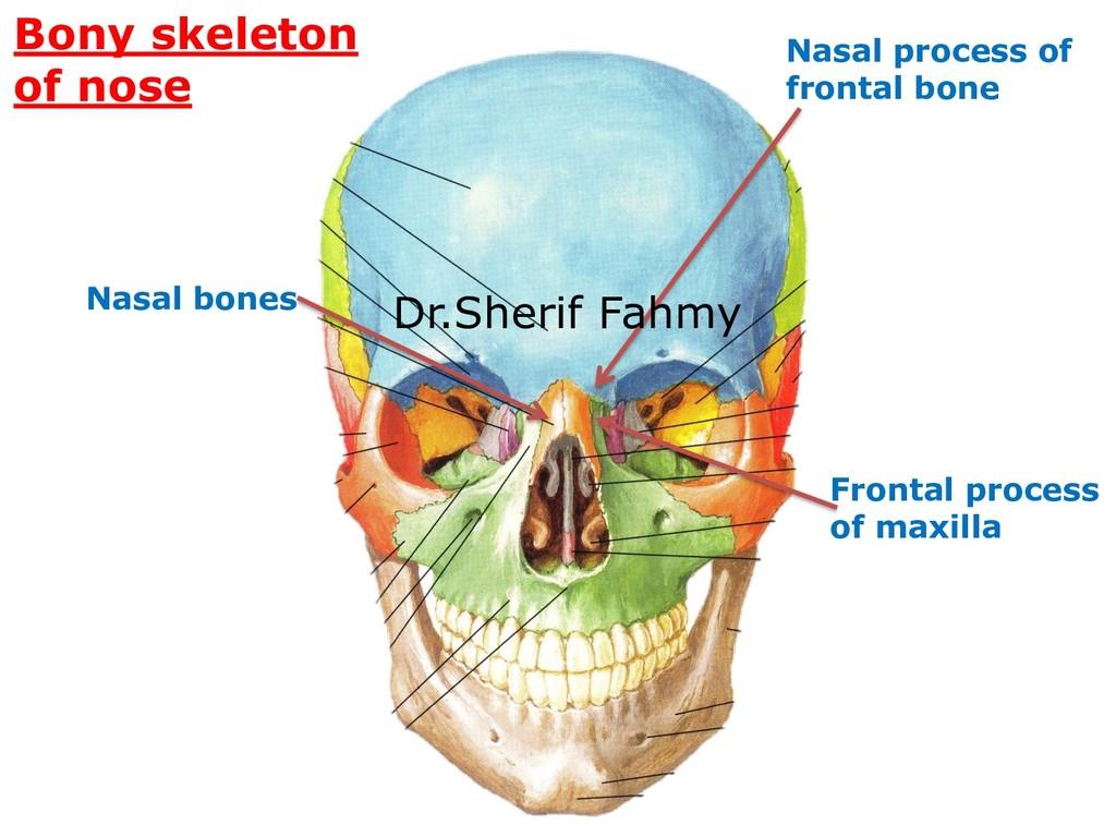 Bony skeleton of nose Nasal bones Frontal proce...