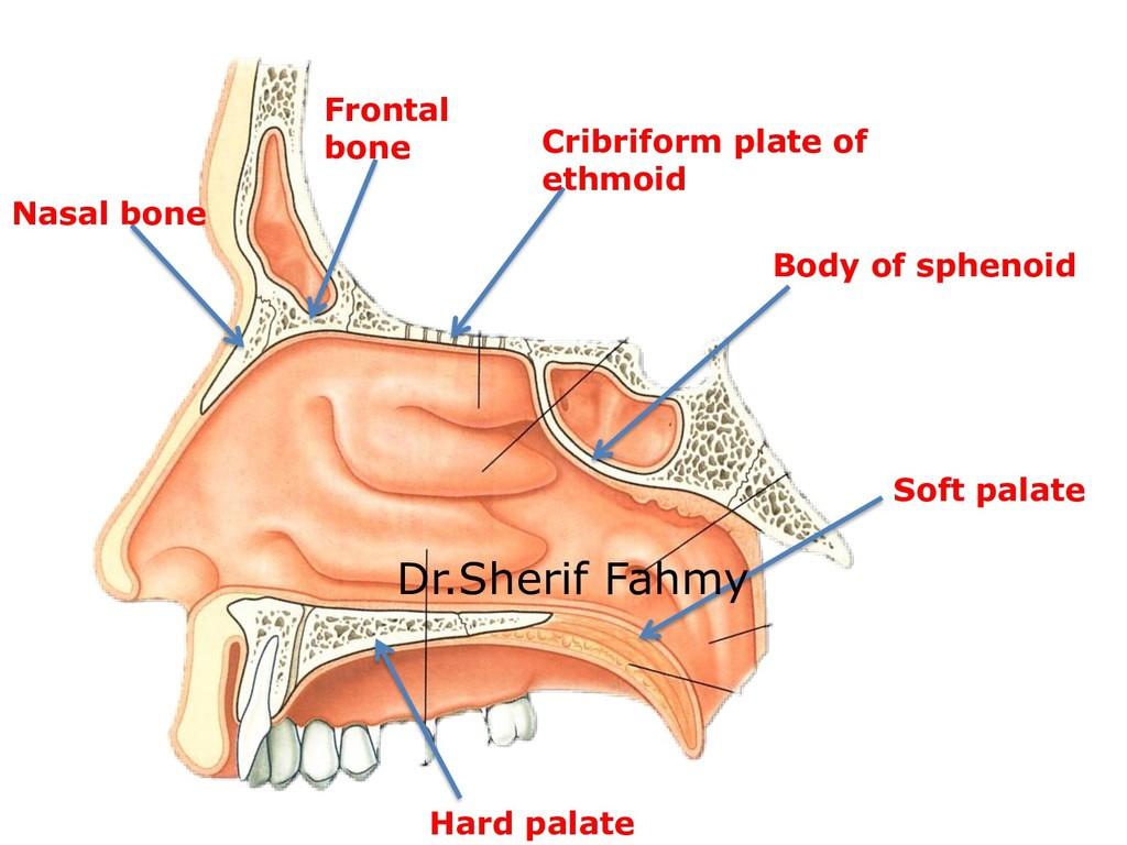 Nasal bone Frontal bone Cribriform plate of eth...