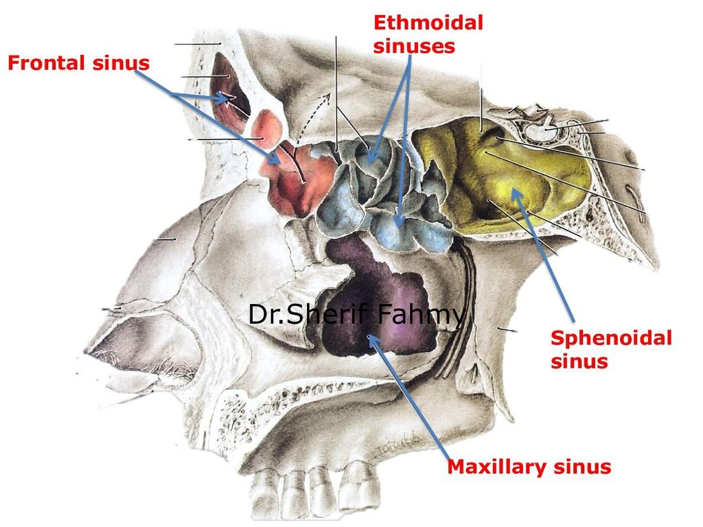 Frontal sinus Ethmoidal sinuses Sphenoidal sinu...