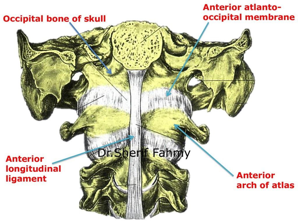Anterior arch of atlas Anterior longitudinal li...