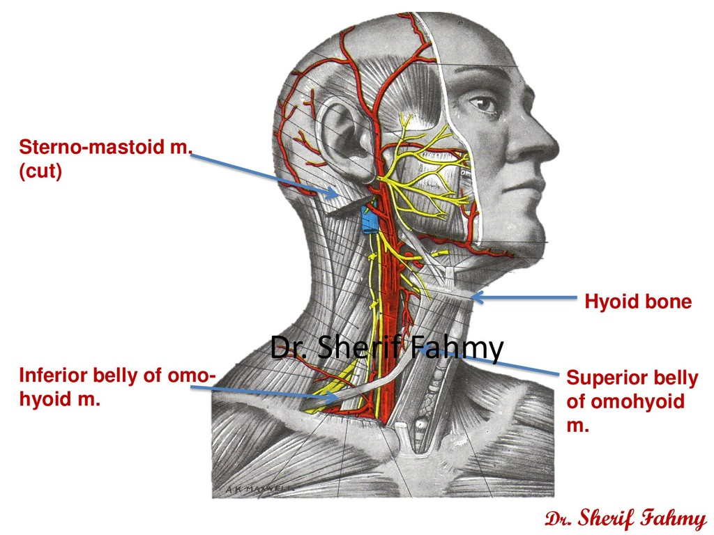 Sterno-mastoid m. (cut) Inferior belly of omo- ...