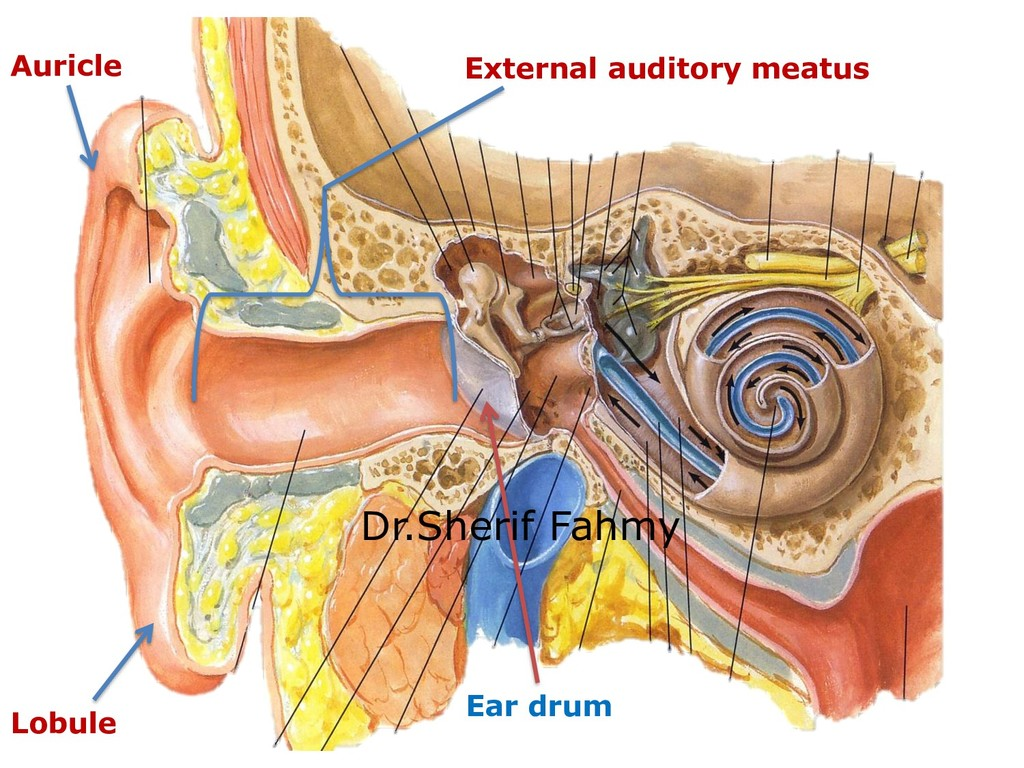 Auricle Lobule External auditory meatus Ear dru...