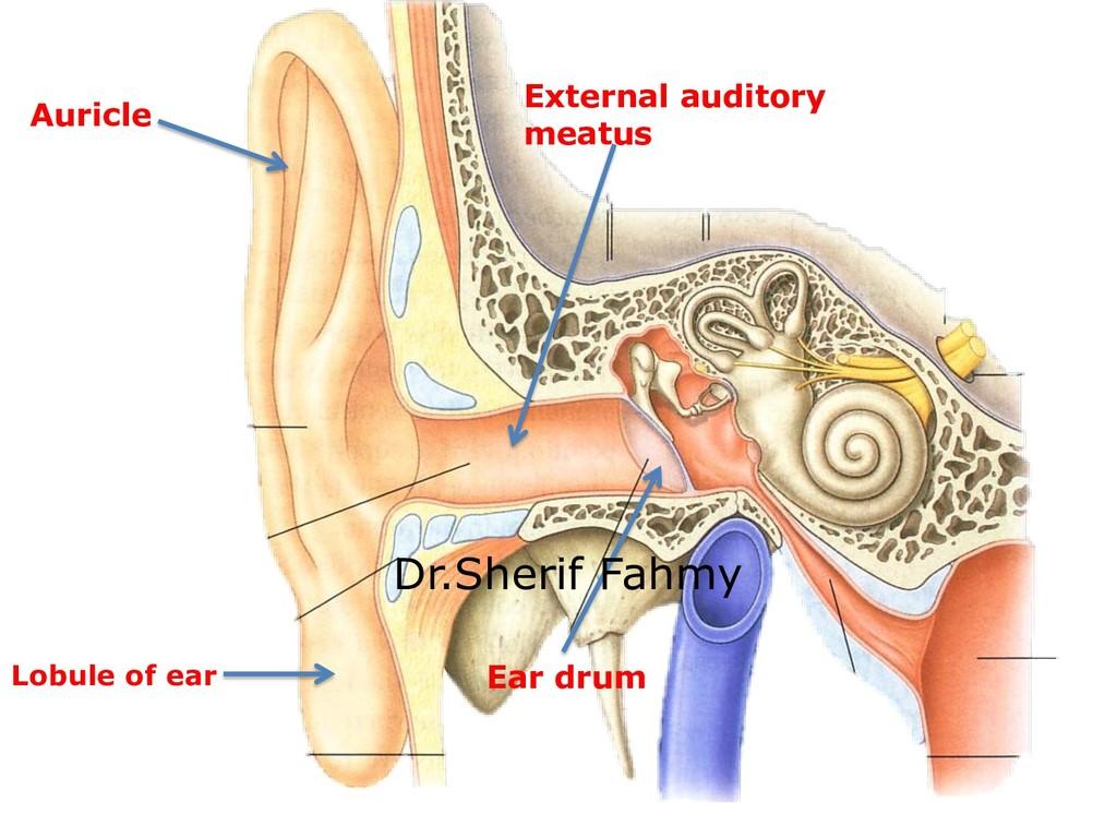 Auricle Lobule of ear External auditory meatus ...