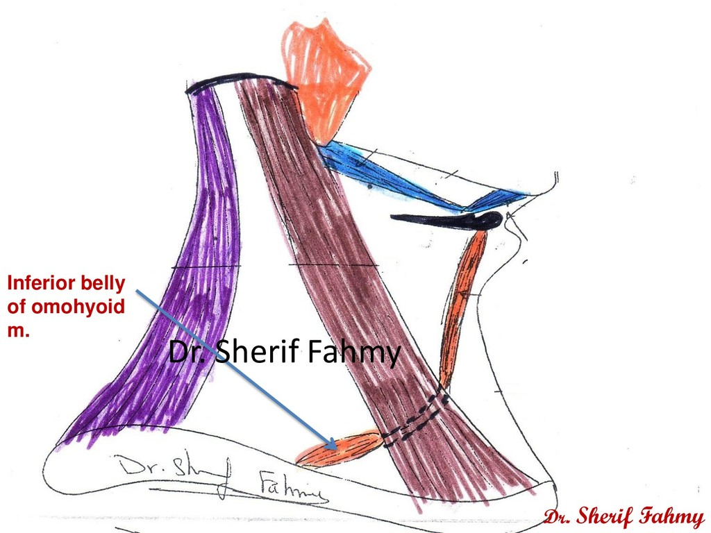 Inferior belly of omohyoid m. Dr. Sherif Fahmy ...
