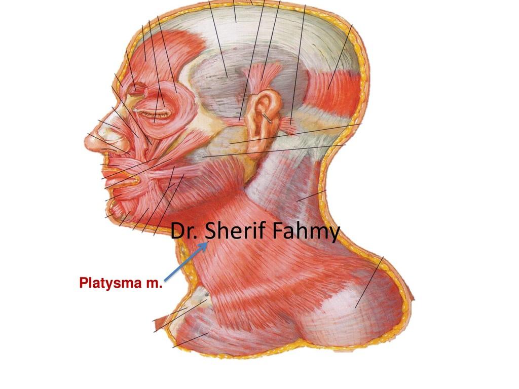 Platysma m. Dr. Sherif Fahmy