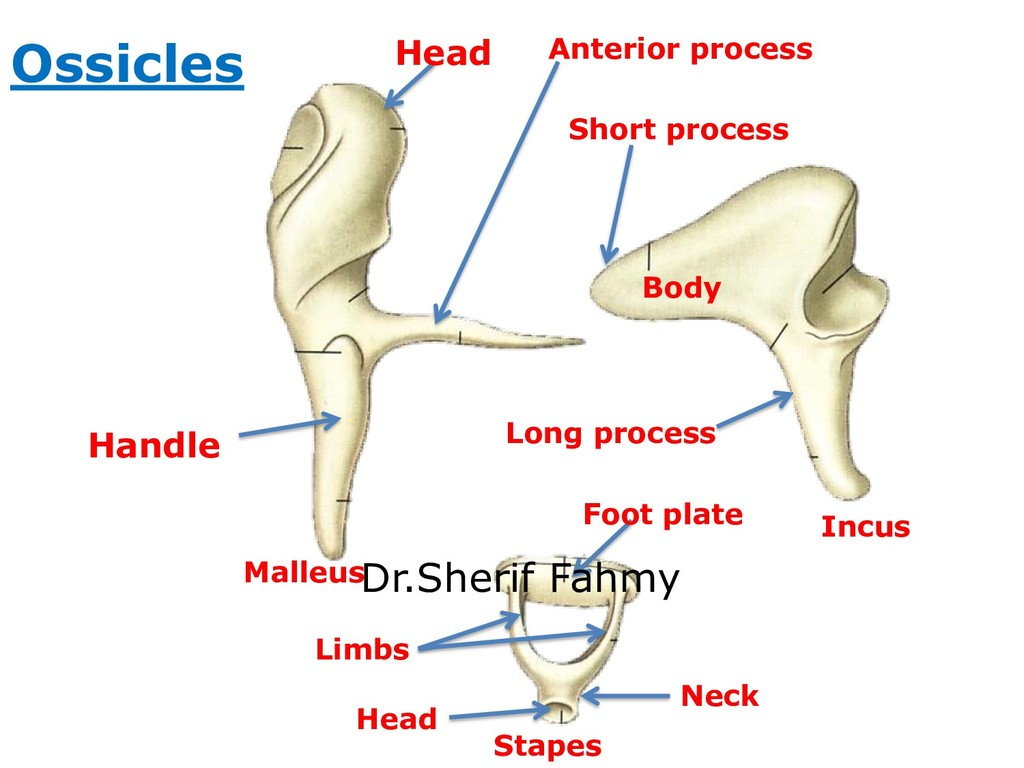 Malleus Incus Stapes Ossicles Head Handle Body ...