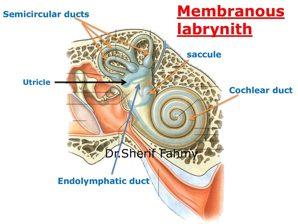 saccule Utricle Cochlear duct Semicircular duct...