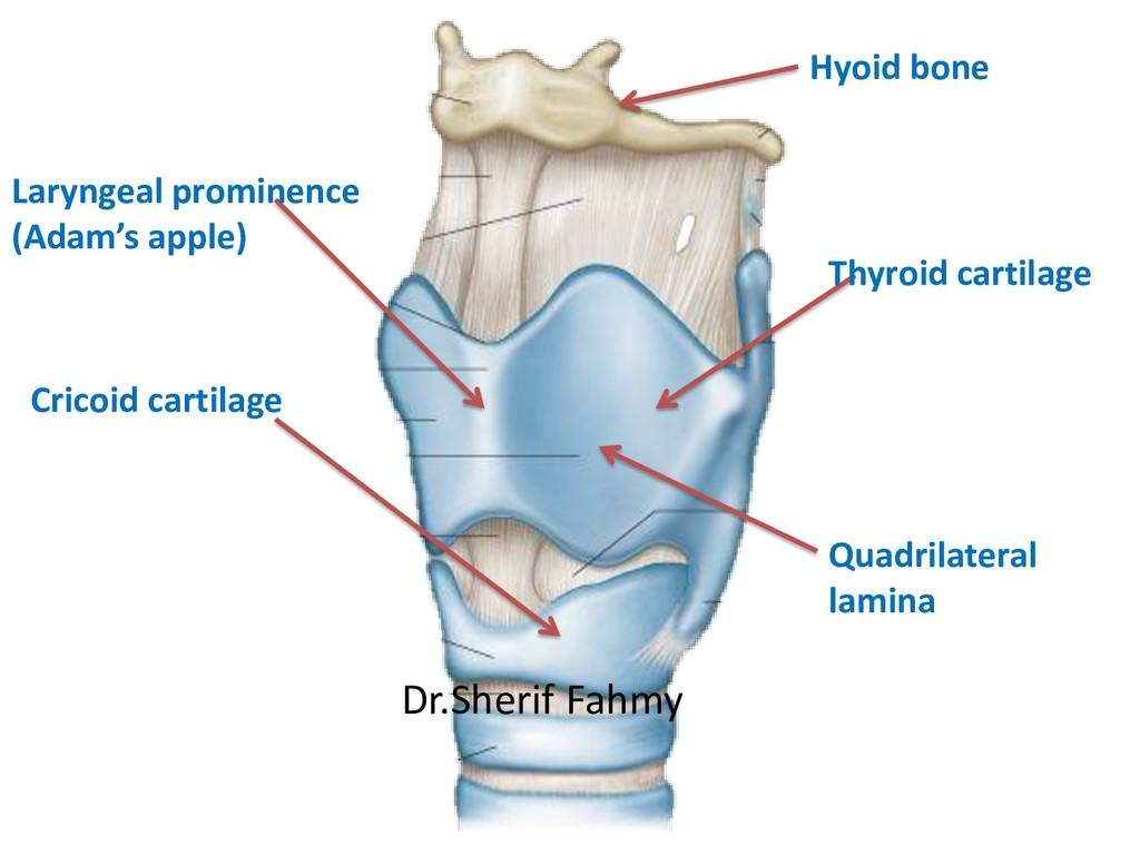 Thyroid cartilage Cricoid cartilage Quadrilater...