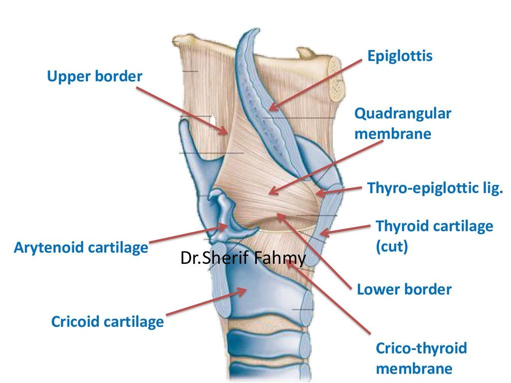 Arytenoid cartilage Thyroid cartilage (cut) Qua...